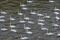Many white swans Royalty Free Stock Photography