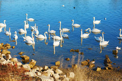 Many white swans in the river Stock Image