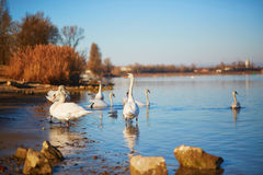 Many white swans in the river Royalty Free Stock Photo