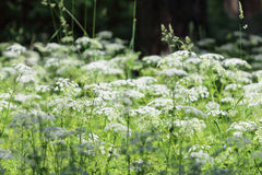 Many white wildflowers and fresh green grass in summer forest Stock Photos