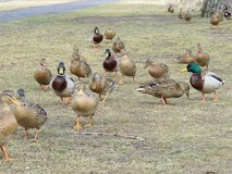 A flock of wild ducks on the grass. Many wild ducks go along the grass in the village Royalty Free Stock Images