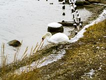Many wild ducks and swans royalty free stock photos