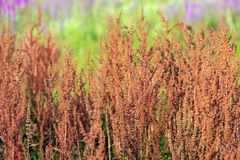 Many wild flowering sorrel plants from close. Closeup of many brown flowering Sorrel or Rumex acetosa plants. The plants grow in a Dutch nature reserve. Out of stock image