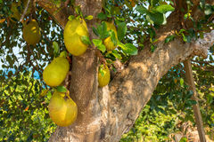 Many wild large Jack Fruits growing from a tree. Royalty Free Stock Photos
