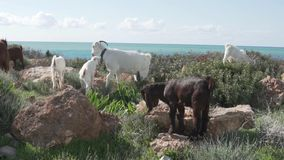 Many wild sheep chew grass in a field by the sea