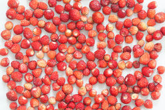 Many wild strawberries on white background. Forest red berries macro. Shallow depth of field. Up view, horizontal Royalty Free Stock Photography