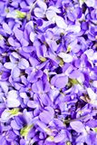 Many wild violets Royalty Free Stock Image