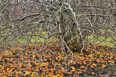 Many windfall apples Stock Images