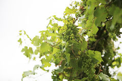 Many wine grapes hanging on a vin Royalty Free Stock Image