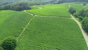 Many woman worker picking tea leaves at a tea plantation in north of Thailand. Aerial view from flying drone.  stock video