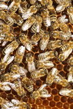 Many working bee Stock Photography