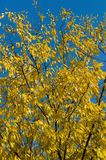 Many yellow autumn leaves Stock Image