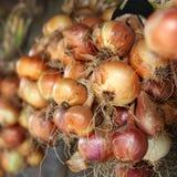Many yellow bulb onions Stock Photos