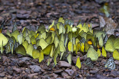 Many yellow butterfly on the ground Royalty Free Stock Photography