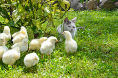 Many yellow chickens. Angry cat is friend with for little yellow chickens in the garden Royalty Free Stock Photo