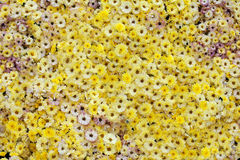Many yellow chrysanthemums Stock Photos