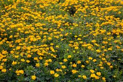 Many yellow Cosmos flowers are blooming in full space Royalty Free Stock Photography