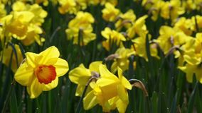Many yellow daffodils, moved by the breeze. stock footage