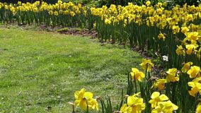 Many yellow daffodils, moved by the breeze. stock video