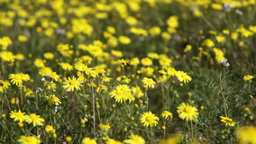 Many yellow daisies Royalty Free Stock Photos