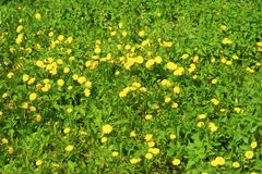 Many yellow dandelions. In grass Royalty Free Stock Images