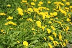 Many yellow dandelions. In grass Stock Photo