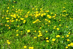 Many yellow dandelions. In grass Stock Photos