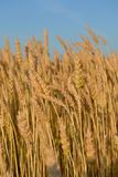 Many yellow ears of rye in the field Stock Photos