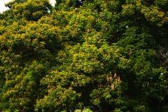 Many yellow flower on tree Stock Image