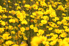Many yellow flowers. In a field Royalty Free Stock Images