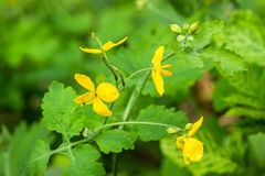 Many yellow flowers on a branch of green bush Stock Photography