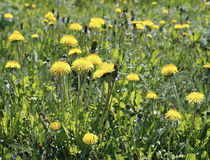 Many yellow flowers dandelions Stock Photos