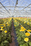 Many yellow flowers in dutch greenhouse Stock Image