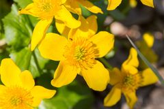 Yellow flowers in the swamp Royalty Free Stock Images