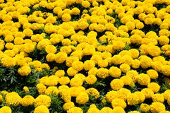 Many yellow flowers Stock Photography