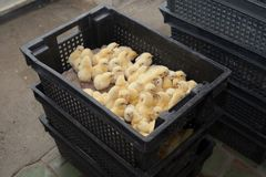 Many yellow little chickens in a box on a chicken farm. Many yellow little chickens in a box on a chicken farm Royalty Free Stock Images