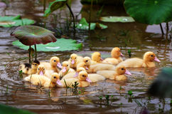 Many yellow little ducks swim. Many yellow little ducks swim in canals with lotus leaves Stock Images