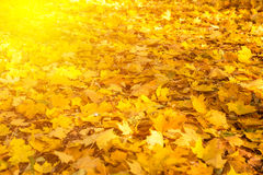 Many yellow maple leaves Royalty Free Stock Photos