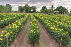 Many marigold flowers stock photos
