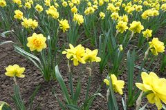 Many yellow and orange flowers of daffodils. Many yellow and orange flowers of daouble daffodils stock photos