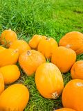 Many yellow pumpkins on a meadow for sale in autumn. For Thanksgiving royalty free stock photo