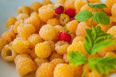 Many yellow rasberry. Yellow rasberry and green leaves with red berries Stock Photos