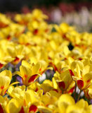 Many yellow tulips growing under the spring sunshine Royalty Free Stock Photos