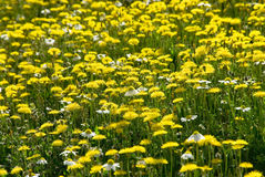 Many yellow wild flowers on field Royalty Free Stock Photos