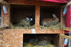 Many young bunnies in a shed. A group of small rabbits feed in barn yard. Easter symbol royalty free stock photos
