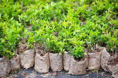 Many young bush plants in packets Royalty Free Stock Image