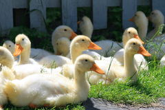 Many Young Ducks On Green Grass Royalty Free Stock Photography