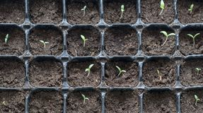 Many young plants in plastic pots. Close-up image on little tomato plants. New life concept stock photography