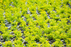 Many young plants in pots Royalty Free Stock Photo