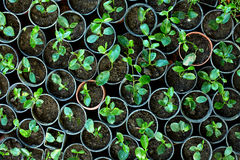Many young potted sprouts in greenery. Top view Royalty Free Stock Photos